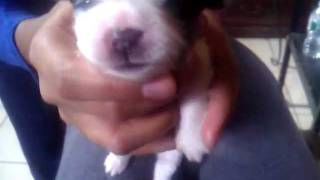 Shih Tzu And Chihuahua Mix Puppy