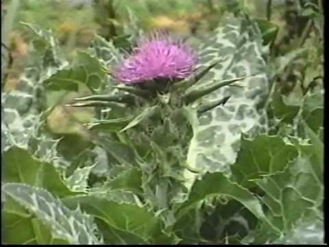 Edible & Medicinal Herbs 2 - Part 2 from herbaltransitions.c