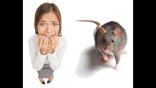 Сонник: увидеть во сне белую черную серую крысу. Толкование снов