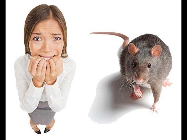 картинка боюсь крыс владельцем, уже еле