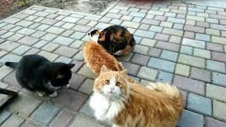 Рыжие коты, трёхместная кошка