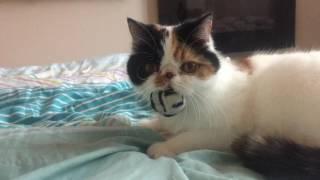 ШОК!!Экзотическая кошка рычит!!!