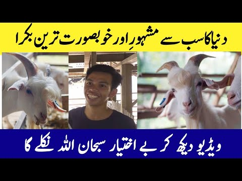 Repeat Viral handsome Goat From Malaysia Gone Viral On