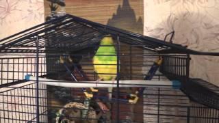 Арчик- говорящий попугай. Трюк