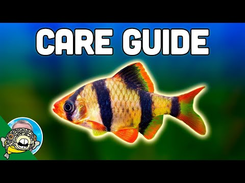 Tiger Barb Care Guide - Aquarium Co-Op