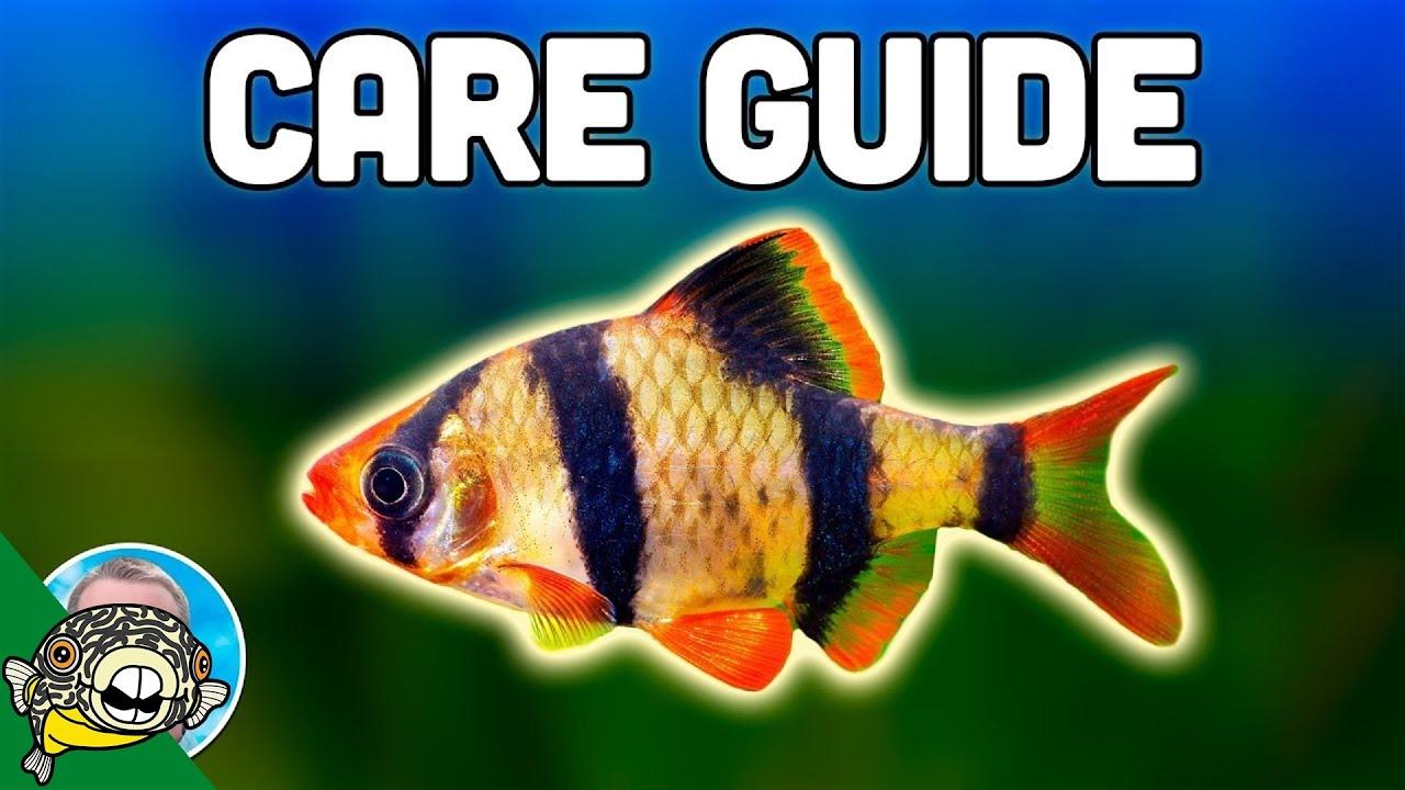 tiger-barb-care-guide-aquarium-co-op