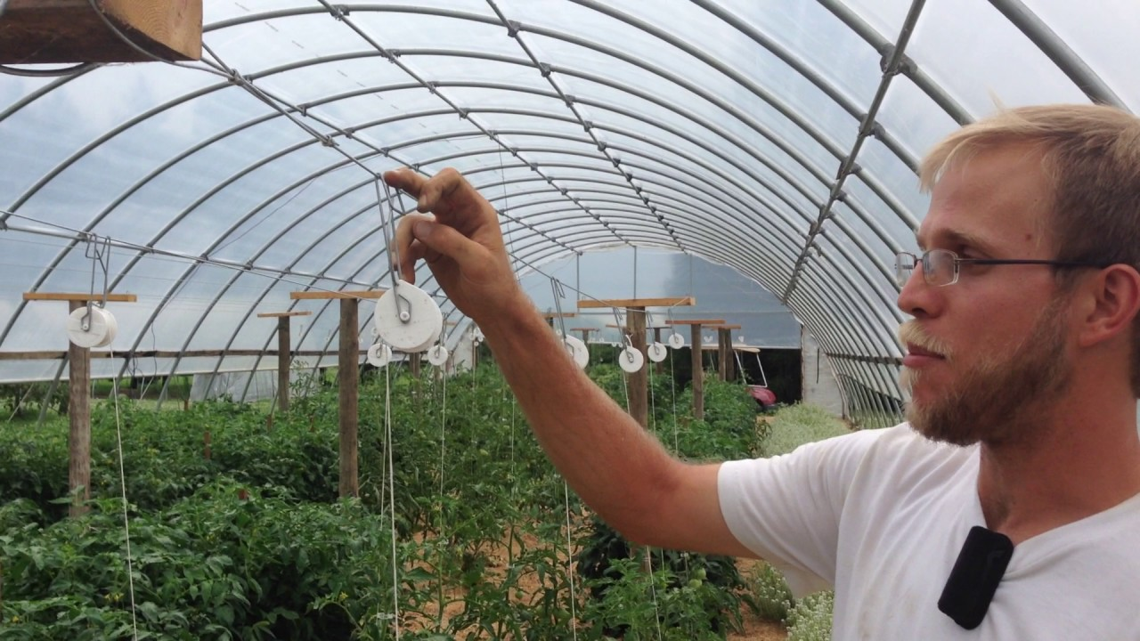 Trellising tomatoes in high tunnels | Sustainable Vegetable