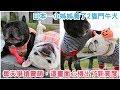 萌!日本一小姊姊養了2隻鬥牛犬,每天爭着搶着賣萌,這畫面「心機」出了新高度!