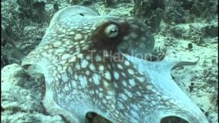 Octopus vulgaris Camouflage Change