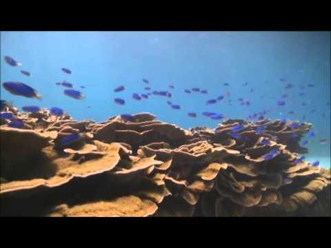 藍色精靈─霓紅雀鯛