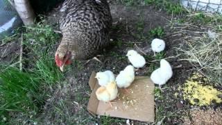 Квочка с цыплятами №0059(Курица с цыплятами, день первый, цыплята едят., 2012-04-30T10:26:14.000Z)