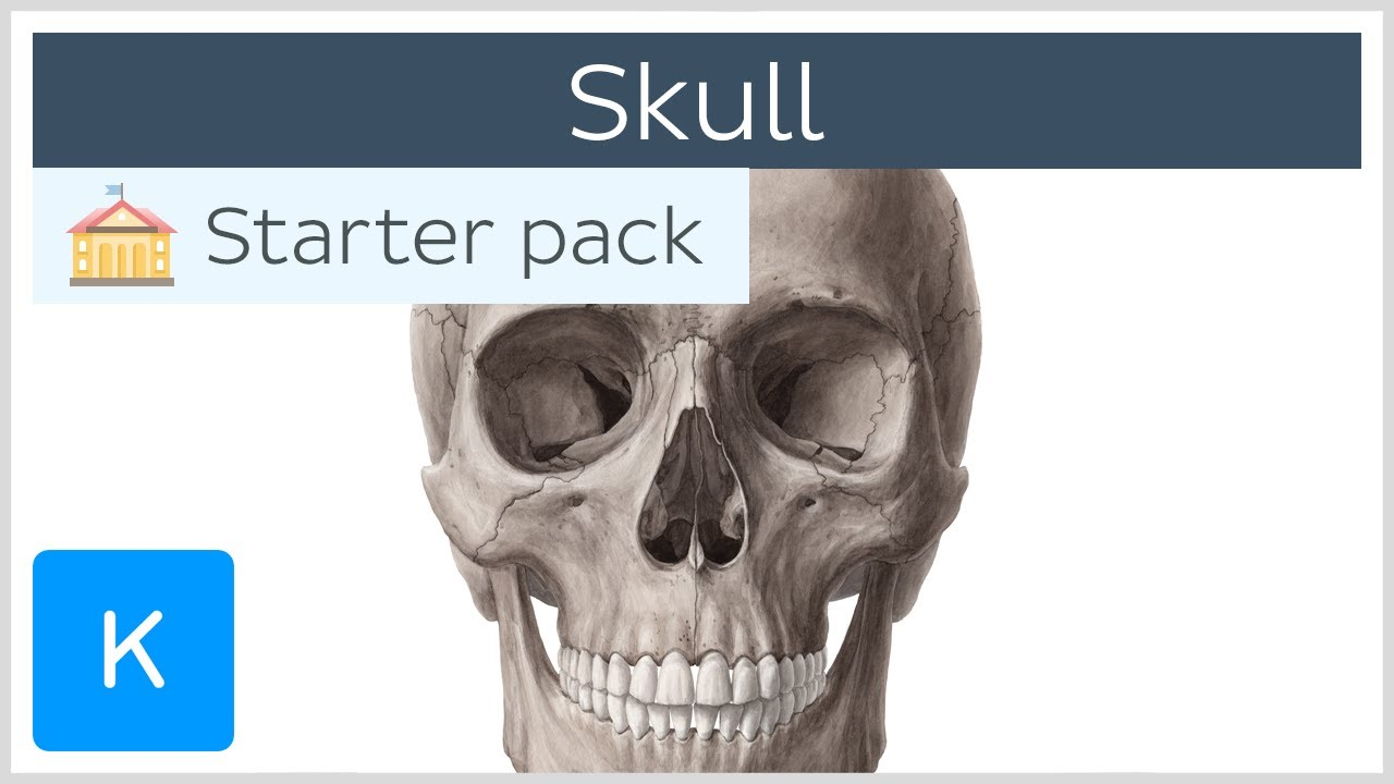 Download Bones of the Skull: Neurocranium and Viscerocranium - Human Anatomy | Kenhub