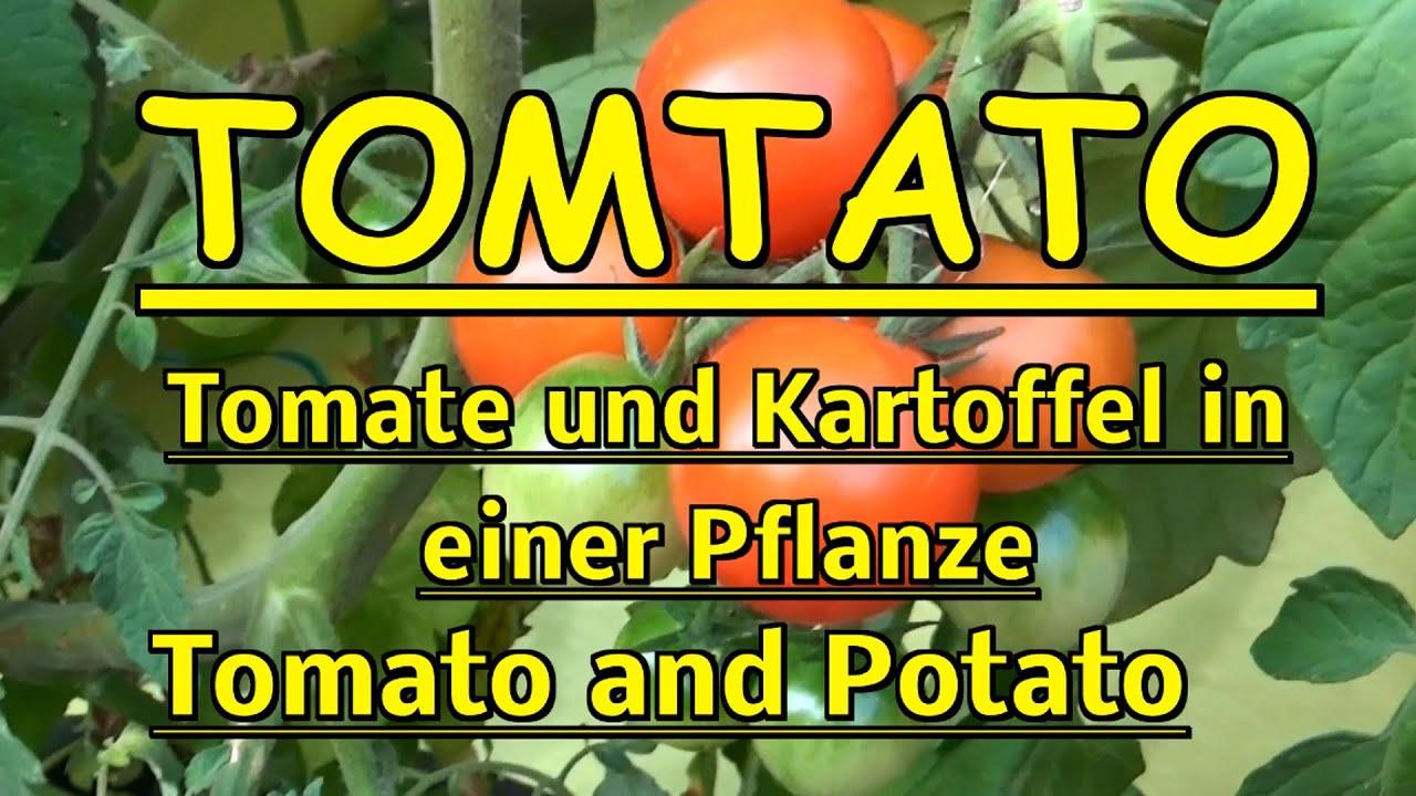 tomtato im test tomate kartoffel zu einer pflanze veredelt tomato and potato youtube. Black Bedroom Furniture Sets. Home Design Ideas
