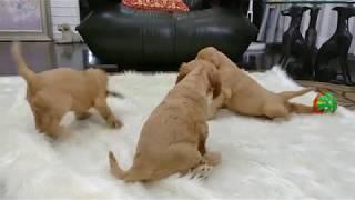 生後46日のコラレット×カーフィの子犬達です。 自由に遊ぶイタズラな子...