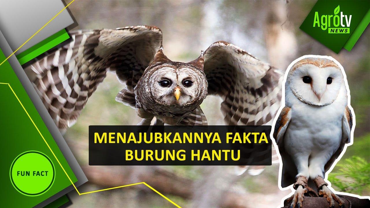 Menajubkannya Fakta Burung Hantu Youtube