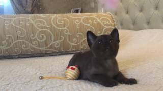 Соболиный бурманский котёнок. Мальчик. Питомник Freya Way