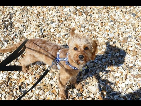 Ettie - 5 Month Old Cavapoo Puppy - 2 Week Intensive Dog Training Course