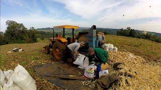 debulhando milho na lavoura