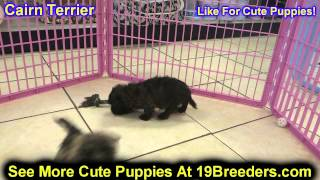 Cairn Terrier, Puppies, For, Sale, In, Detroit, Michigan, Mi, Waverly, Holt, Inkster, Wyandotte, For