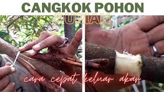 Cara cangkok susu durian, agar pohon durian cepat berbuah