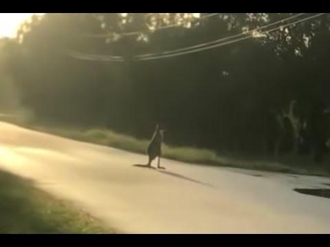 Deuce - Kangaroo On The Loose In Florida