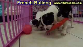 French Bulldog, Puppies, For, Sale, In, New Orleans, Louisiana, La, Jefferson, Bayou Blue, Moss Bluf
