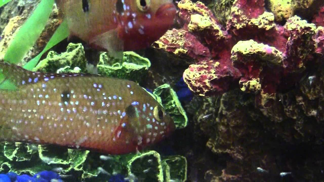 Jewel Cichlid Fish and their baby fry - Most beautiful ...