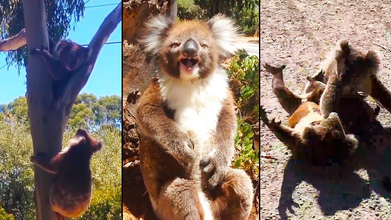 Ozzy Man Reviews: Koala Tree Battles