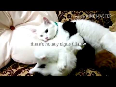 story of my turkish angora cats