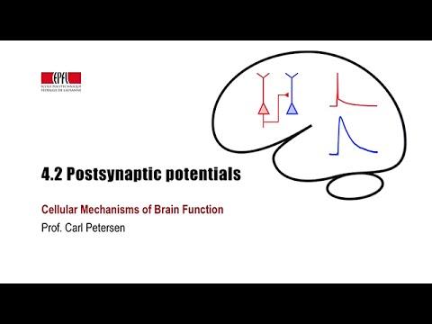 4.2 Postsynaptic potentials