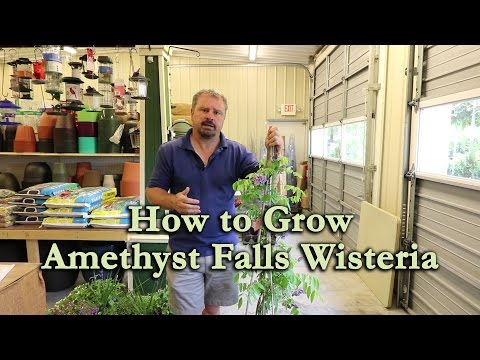 How to grow Amethyst Falls Wisteria with a detailed description