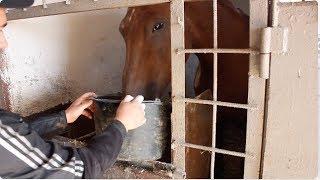 Обрабатываем лошадей против гельминтов.