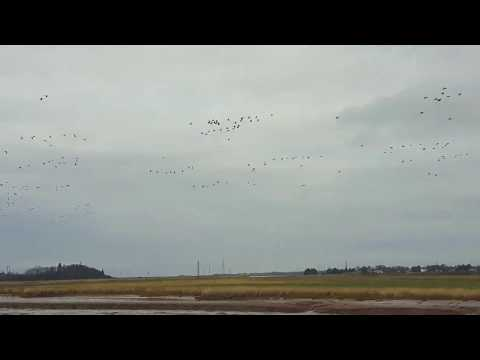 Canada Geese Chased By Tidal Bore