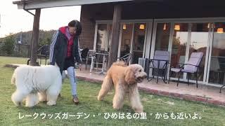 """日本で唯一オーストラリアンラブラドゥードルに触れ合える"""" レークウッ..."""