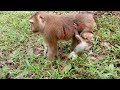 Why Pigtail Monkey Shy Baby Monkey ? ST334