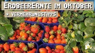 Erdbeeren bis in den Oktober ernten - Erdbeeren anbauen und vermehren