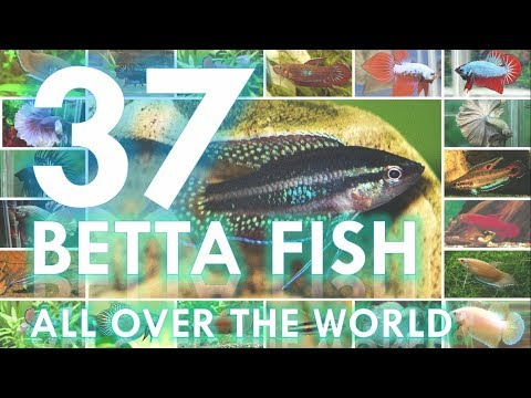 37 Of BETTA FISH All Over The World