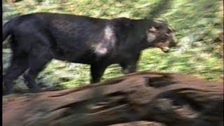 Leopardo negro,  Panthera Pardus, Pantera negra, Onça preta, Felinos, Carnívoros, Zoológico,
