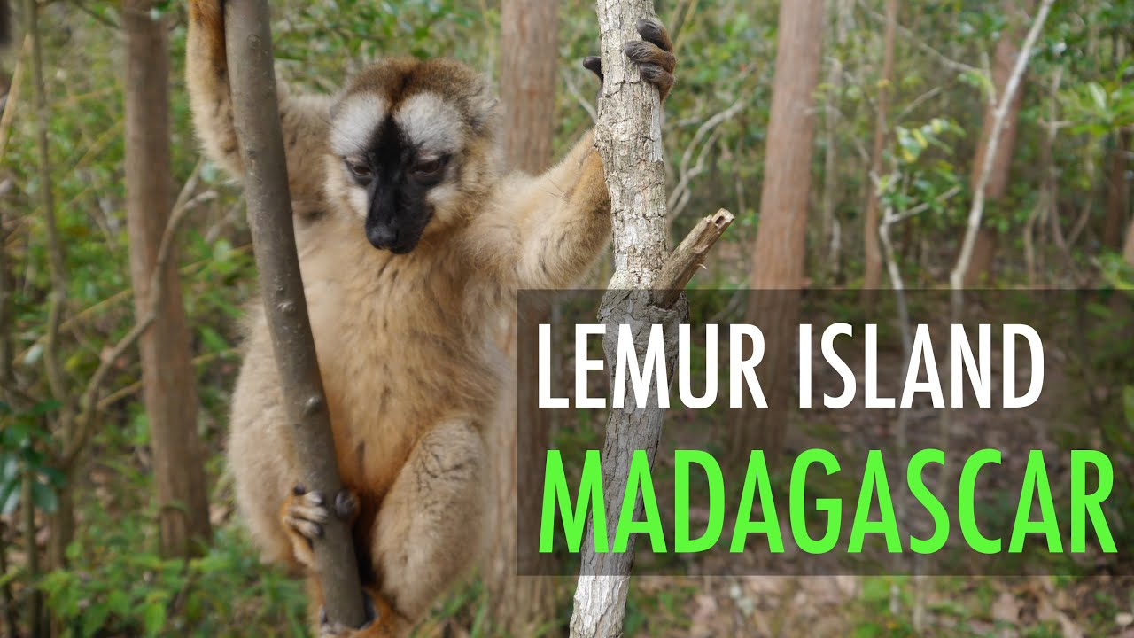 lemurs in madagascar surviving on an Endangered lemurs of madagascar cute baby twin ring tailed lemurs | madagascar w/ david lemurs of madagascar—surviving on an island of.
