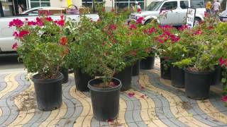 Avoid These Horrible Mistakes in Planting Bougainvillea