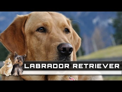 🐕 LABRADOR RETRIEVER Dog Breed - Overview, Facts, Traits and Price