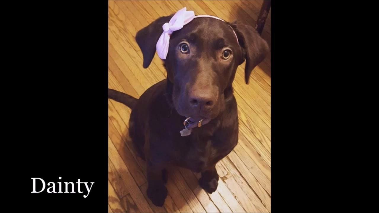 Labrador Retriever Breeder Ontario - Lucky Labs