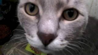 Серый кот обжорка
