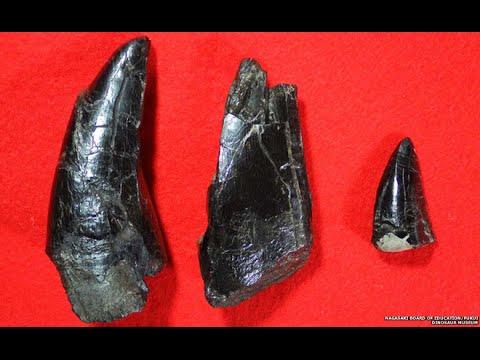 81 million year old teeth of dinosaur found in Nagasaki