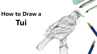 How to Draw a Tui Bird with Pencils [Time Lapse]