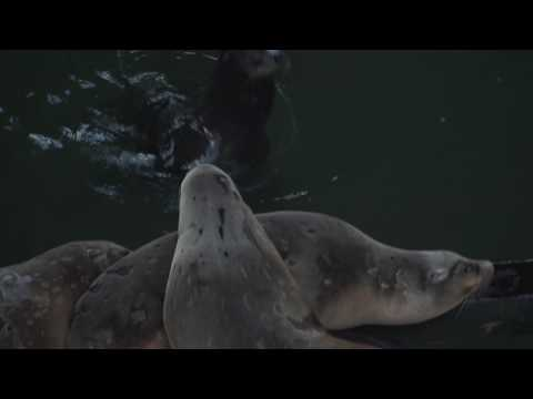 Salty Dogs (a sea lion documentary from march 2017)