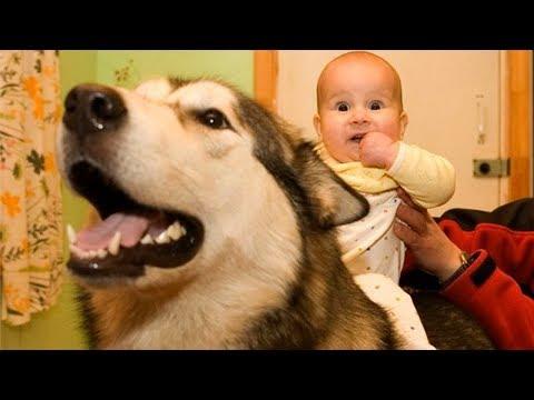 Alaskan Malamute Dogs Love Baby Compilation