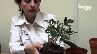 Почему сохнут комнатные миниатюрные розы  Сайт  Садовый мир(, 2014-06-22T00:01:21.000Z)