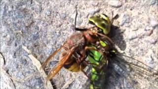 Hornisse kämpft gegen Libelle