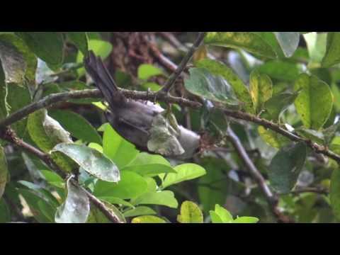 Cucarachero cabeciblanco
